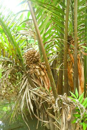 越南湄公河的水椰子树果实