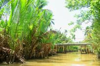 越南河流水道生长的水椰树