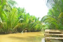 越南河上生长的水椰树