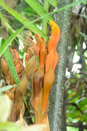 越南九龙江的水椰子树和果实