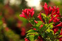 漂亮的锦带花