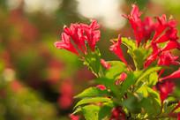 盛开的锦带花