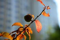 桃树枝上的毛桃