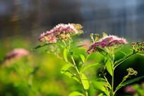 阳光下的绣线菊
