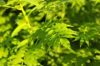 珍珠梅绿色叶子