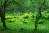 生长在丛林中的蕨草