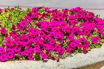盛开的玫红色番薯花