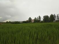 夏日乡村稻田