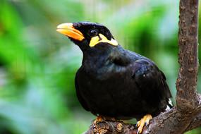 一只站在树枝上的小鸟八哥