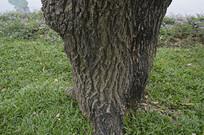 鸡冠刺桐树根
