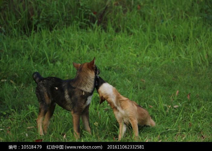 两只草坪上玩耍的狗狗图片