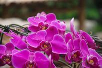 紫色花瓣蝴蝶兰