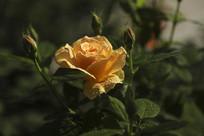 花骨朵与盛开的黄月季