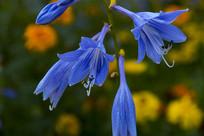 蓝色的紫玉簪花