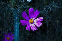 盛开的波斯菊花
