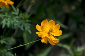 一枝黄秋英花
