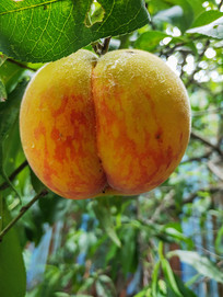 成熟的桃子