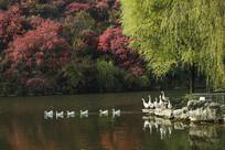红叶谷大白鹅