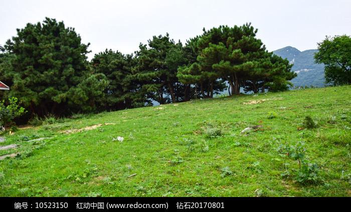 绿色草地和松树林图片