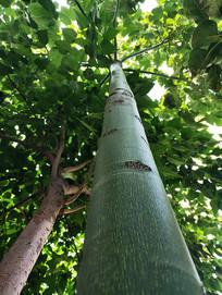 绿色梧桐树