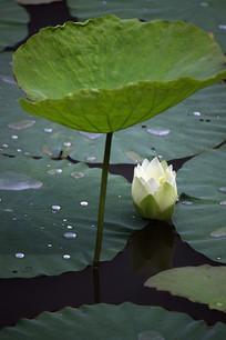躺在荷叶下的白莲花