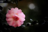 一朵粉红色的茶花