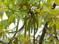 胡桃科树木胡桃