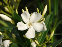 白花夹竹桃白色花朵
