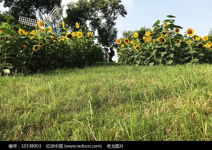 草地向日葵图片
