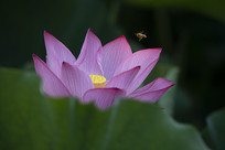 蜜蜂与荷花