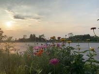 夕阳下的野花