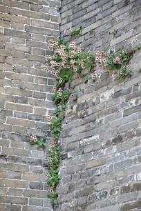 城墙上的野花
