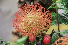 红毛丹花朵