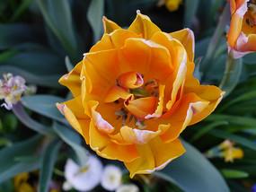 金黄色荷兰郁金香