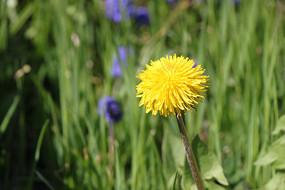 瑞士琉森湖野菊花