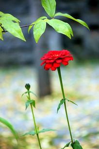 湖北神农架红色百日菊