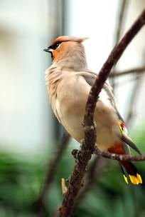 树枝上美丽的太平鸟