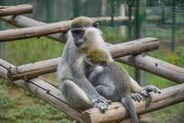 长尾黑颚猴