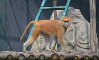 警惕的猴子