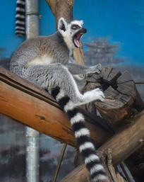 怒吼的节尾狐猴