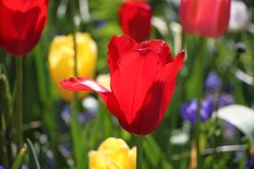 红色的荷兰郁金香
