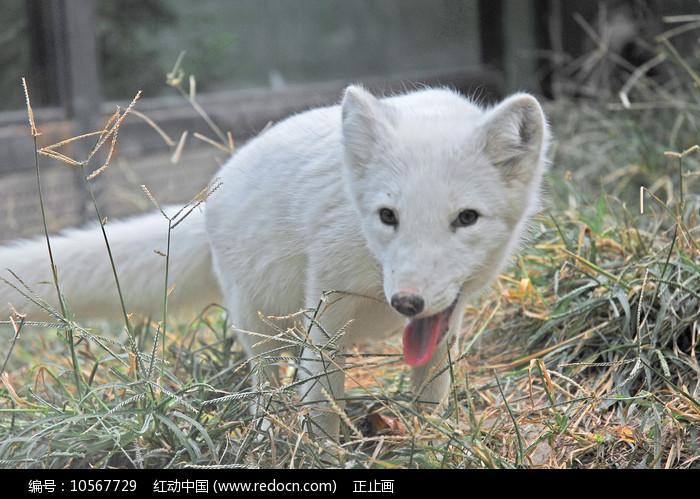 北京动物园的白狐图片