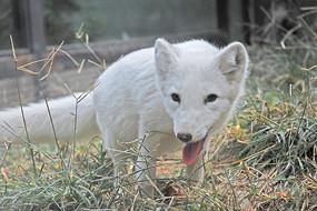 北京动物园的白狐