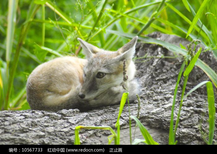 北京动物园沙狐图片