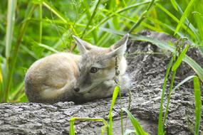 北京动物园沙狐