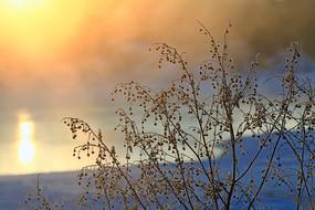 阳光下野草花草冰霜