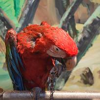 红色羽毛的鹦鹉