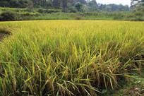 成熟的稻谷