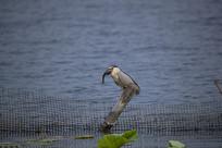 湖边夜鹭吃鱼