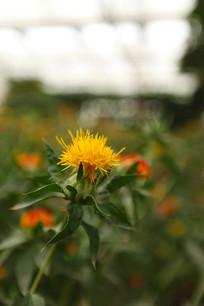 一朵刺红花